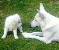 Foto 3 Wei�er Sch�ferhund - Bonnie Bianco vom Lausitzer Seenland