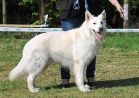 Foto 4 Wei�er Sch�ferhund - Bonnie Bianco vom Lausitzer Seenland