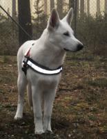 Foto 6 Wei�er Sch�ferhund - Bonnie Bianco vom Lausitzer Seenland