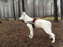 Foto 7 Wei�er Sch�ferhund - Bonnie Bianco vom Lausitzer Seenland