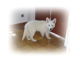 Weißer Schäferhundewelpe Rüde langstock