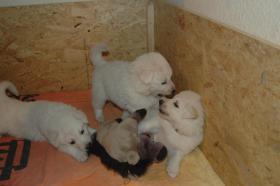 Weißer Schweizer Schäferhund Langhaar Welpen m/w mit Papieren