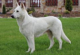 Foto 3 Weißer Schweizer Schäferhund Welpen mit Stammbaum