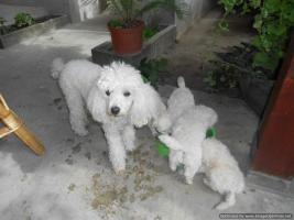 Foto 3 Weißer Zwergpudel welpen zu verkaufen