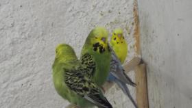 Foto 3 Wellensittiche wunderschöne Farben, nestjung