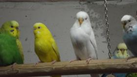 Foto 4 Wellensittiche wunderschöne Farben, nestjung