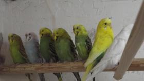 Foto 6 Wellensittiche wunderschöne Farben, nestjung