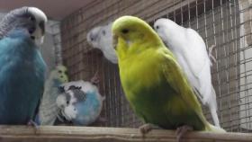 Foto 7 Wellensittiche wunderschöne Farben, nestjung