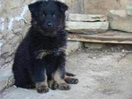 Foto 2 Welpe vom Altdeutsche H�tehund