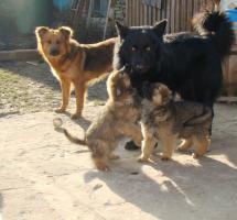 Foto 3 Welpe vom Altdeutsche H�tehund