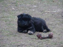Foto 4 Welpe vom Altdeutsche H�tehund