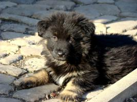 Foto 5 Welpe vom Altdeutsche H�tehund