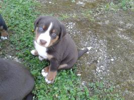 Foto 3 Welpen Appenzeller Sennenhund mit PP, Havana Brown