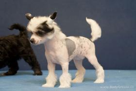 Foto 2 Welpen Chinesischer Schopfhund mit Stammbaum