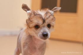 Foto 3 Welpen Chinesischer Schopfhund mit Stammbaum