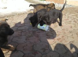 Foto 4 Welpen Deutsch Schäferhund zu verkaufen