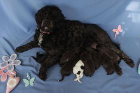 Welpen Feb.14- nichthaarende Hunde, für Allergiker geeignet