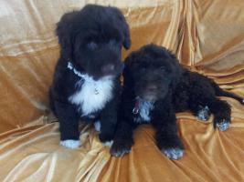 Foto 5 Welpen Feb.14- nichthaarende Hunde, für Allergiker geeignet