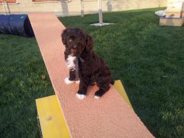 Foto 6 Welpen Feb.14- nichthaarende Hunde, für Allergiker geeignet