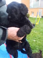 Foto 7 Welpen Feb.14- nichthaarende Hunde, für Allergiker geeignet
