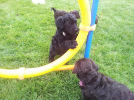 Foto 8 Welpen Feb.14- nichthaarende Hunde, für Allergiker geeignet