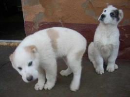Foto 2 Welpen Hunde