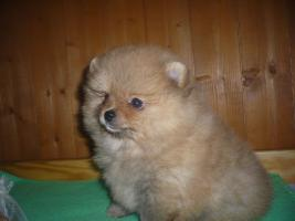 Foto 3 Welpen Pomeranian zu vergeben