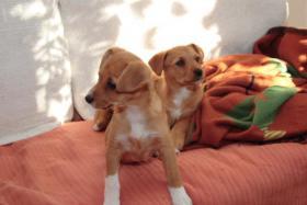 Foto 2 Welpen aus Spanien, 8 Wochen alt