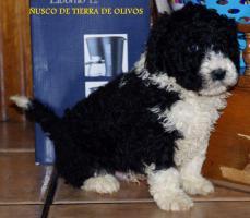 Welpen Spanischer Wasserhund von erfahrenem und mehrfach ausgezeichnetem  Züchter!