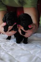 Foto 2 Welpen Toypudel schwarz mit Papiere zu verkaufen
