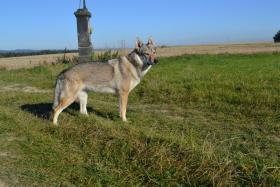 Foto 7 Welpen Tschechoslowakischer Wolfshund Kennel Gribedyr