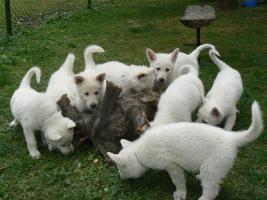 Welpen Wei�er Schweizer Sch�ferhund mit Papiere