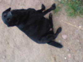 Foto 2 Welpen labrador schäferhundmix