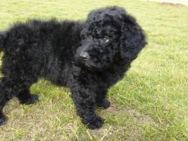 Foto 4 Welpen-nichthaarende Hunde für Allergiker und Anfänger