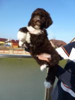 Foto 5 Welpen-nichthaarende Hunde für Allergiker und Anfänger
