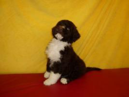 Foto 6 Welpen-nichthaarende Hunde für Allergiker und Anfänger
