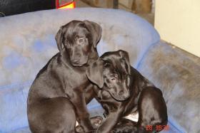 Welpen- Mix ...Labrador Retriever mit D.Dogge