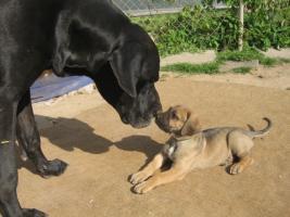 Foto 3 Welpen, Molosser, Saupacker, Dogge, Fila, Mastif, Cane/Corso