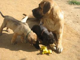 Foto 2 Welpen, Molosser, Saupacker, Dogge, Fila, Mastif, Cane/Corso