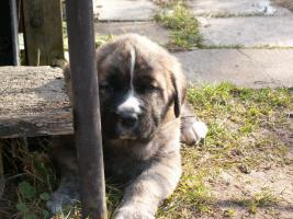 Foto 4 Welpen - Spanischer Mastiff