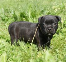 Welpen - Staffordshire Bull Terrier