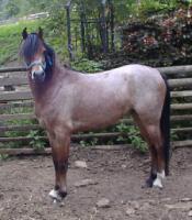 Foto 2 Welsh Ponys zu verkaufen