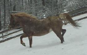 Foto 3 Welsh Ponys zu verkaufen