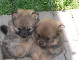 Foto 2 Wer einen kleinen Hund (Kleinspitz) mit großem Herzen sucht, wird hier fündig.