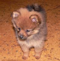 Foto 4 Wer einen kleinen Hund (Kleinspitz) mit großem Herzen sucht, wird hier fündig.