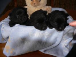 Foto 5 Wer einen kleinen Hund (Kleinspitz) mit großem Herzen sucht, wird hier fündig.