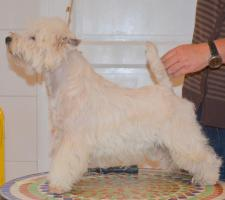 West Highland White Terrier Male