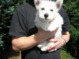 West Highland White Terrier-Rüde-Welpe