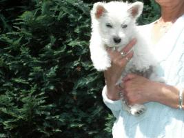 Foto 3 West Highland White Terrier-Rüde-Welpe