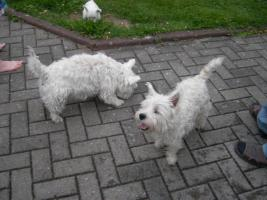 Foto 4 West Highland White Terrier-Rüde-Welpe